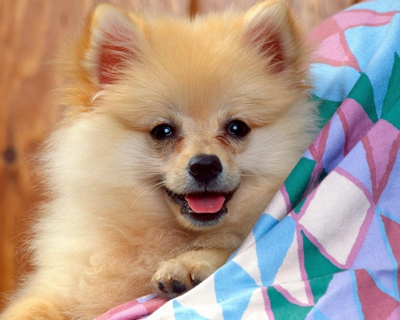 Cute Anglo-Français de Petite Vénerie Puppies: Cute Lovely German Spitz Dog Breed