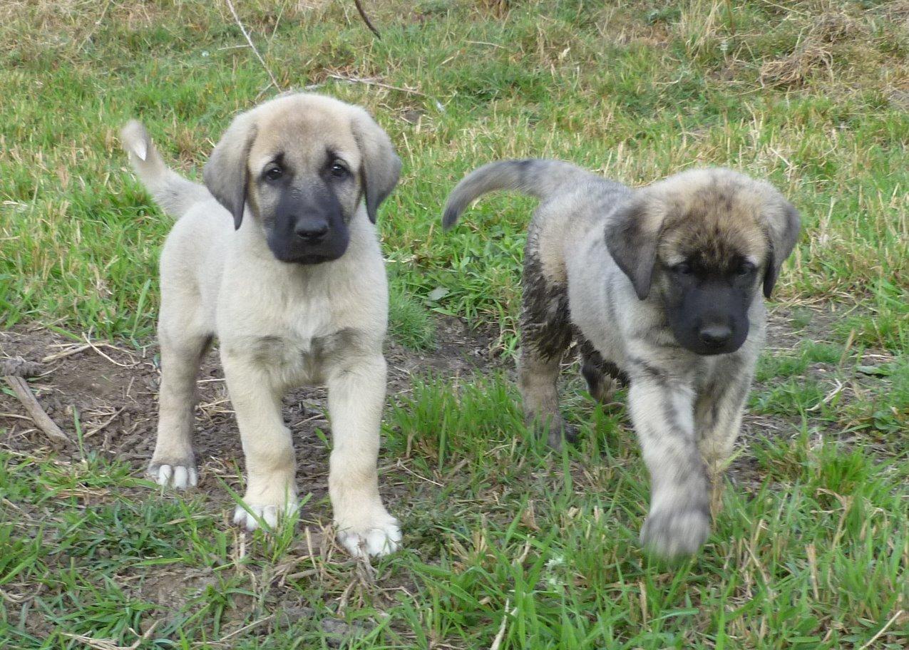 Cute Anatolian Shepherd Puppies: Cute Petguide Breed