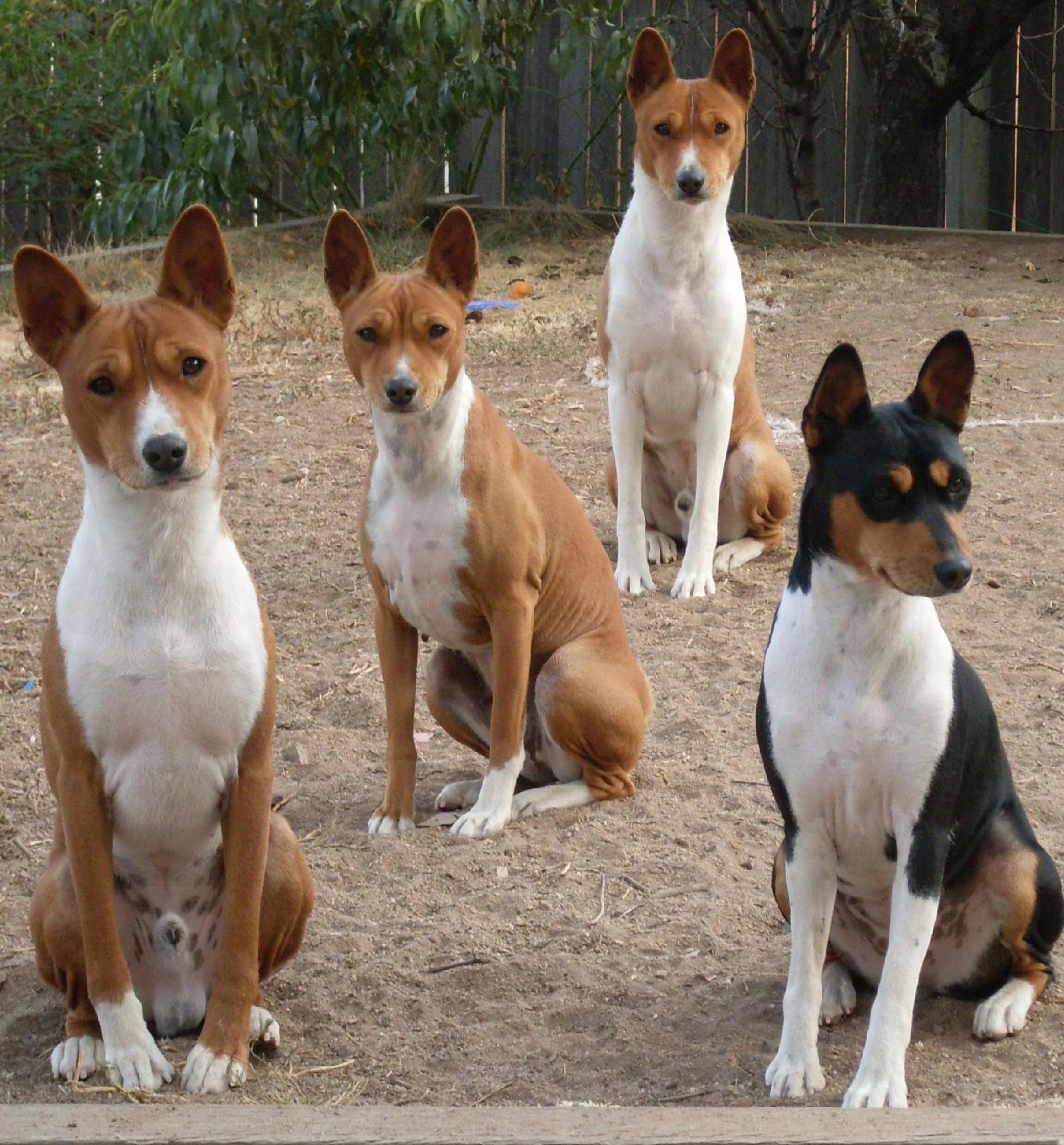 Cute Andalusian Hound Puppies: Cute Petscorner Breed