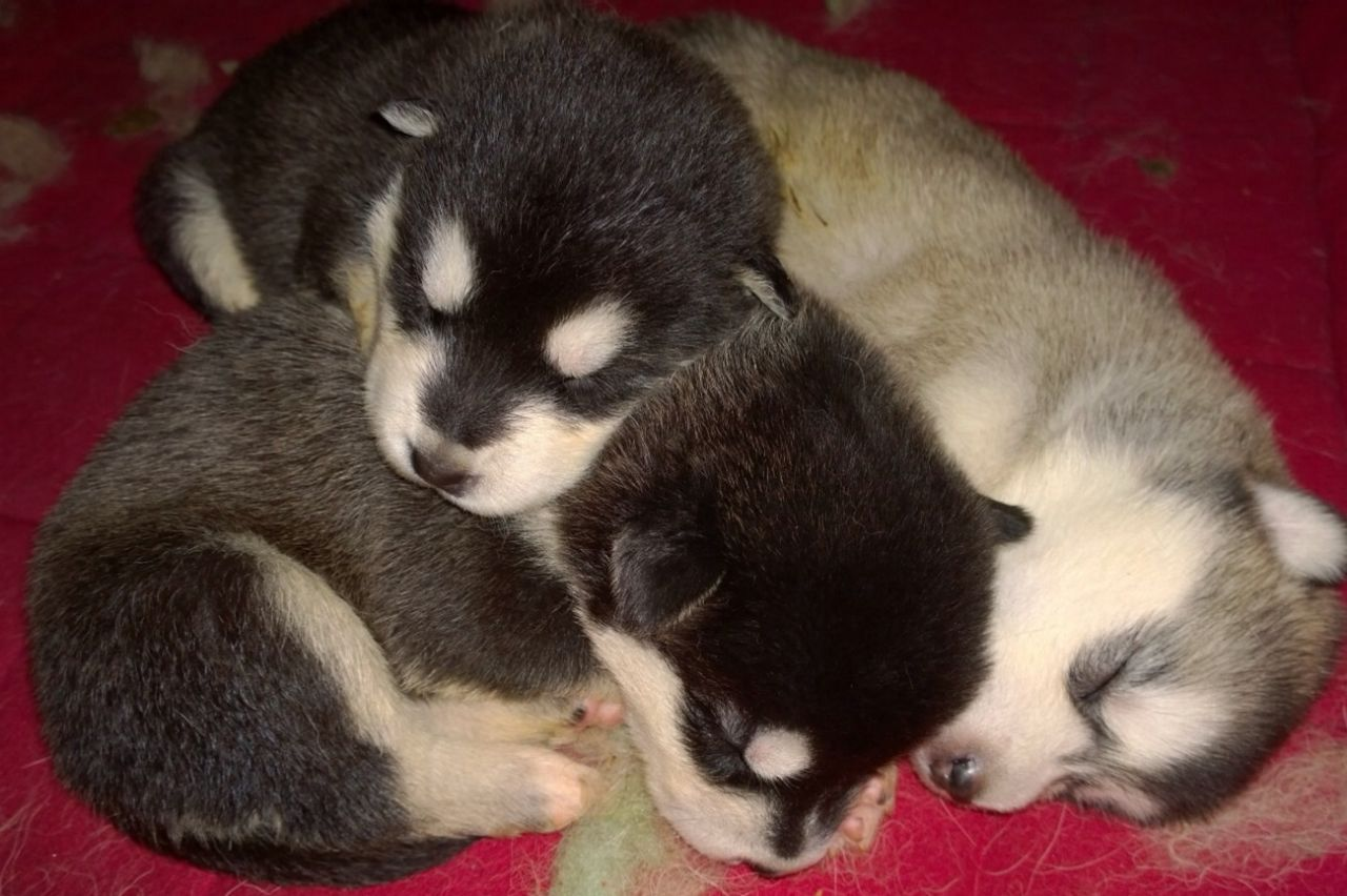 Cute Alaskan Malamute Puppies: Cute Picture Courtesy Of Puppyercom Breed