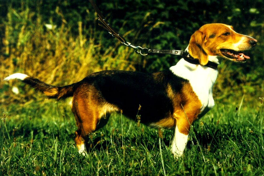 Cute Alpine Dachsbracke Puppies: Cute Picture Gallery Of Westphalian Dachsbracke Dog Breed