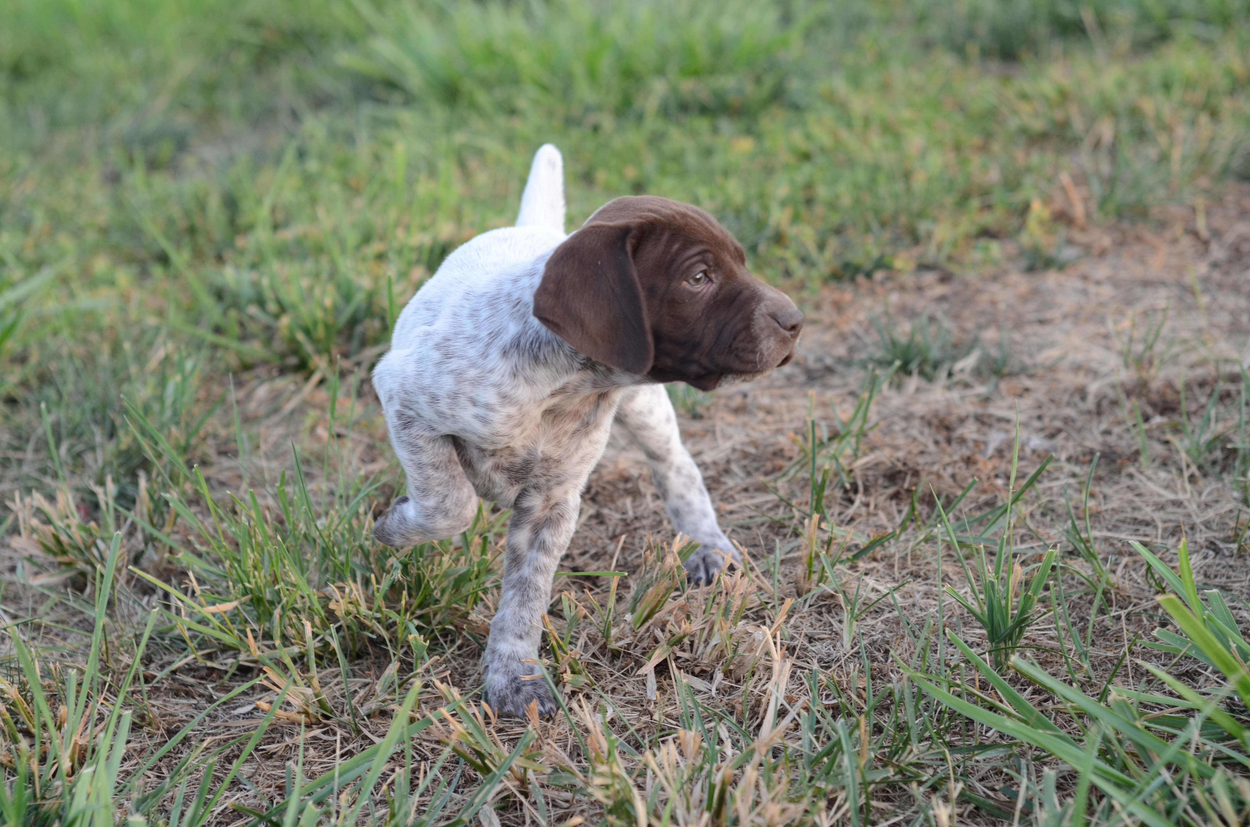 Cute Ariege Pointer Puppies: Cute Pointerpuppiespictures Breed