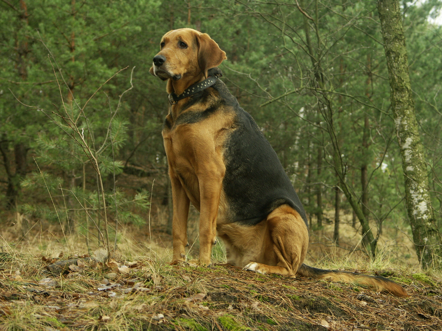 Cute Andalusian Hound Puppies: Cute Polish Hound Dog In The Forest Breed