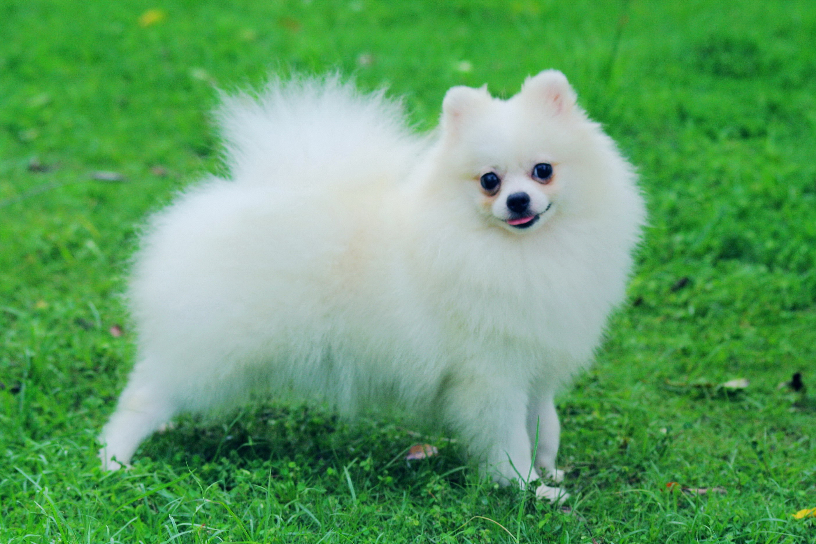 Cute Andalusian Hound Puppies: Cute Pomeranian Breed
