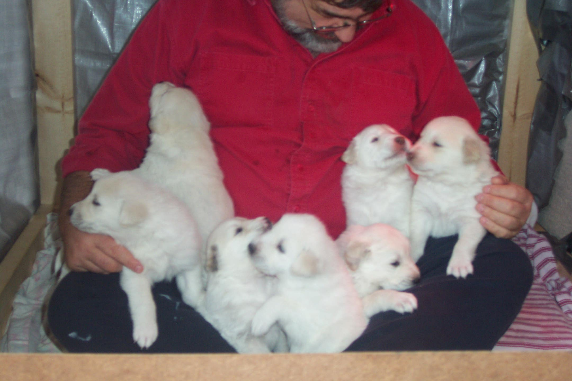 Cute Akbash Puppies: Cute Pupsb Breed