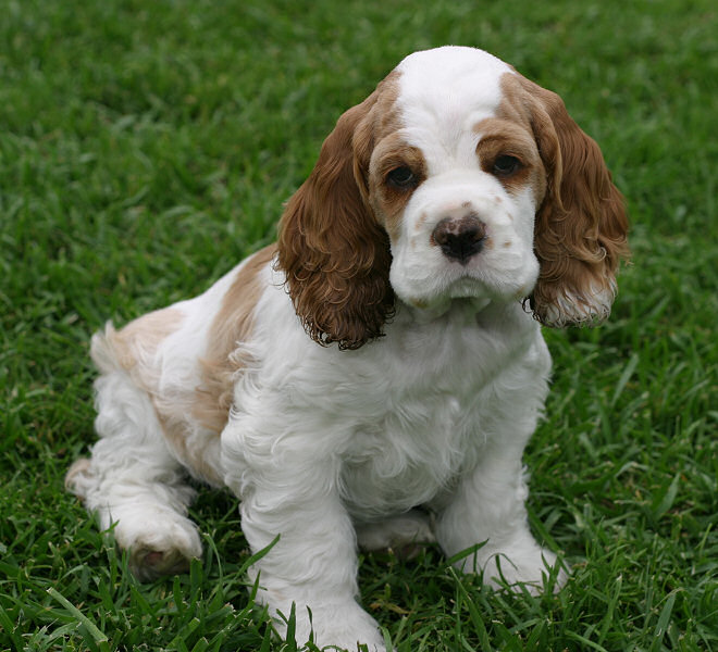 Cute American Cocker Spaniel Puppies: Cute Question Breed