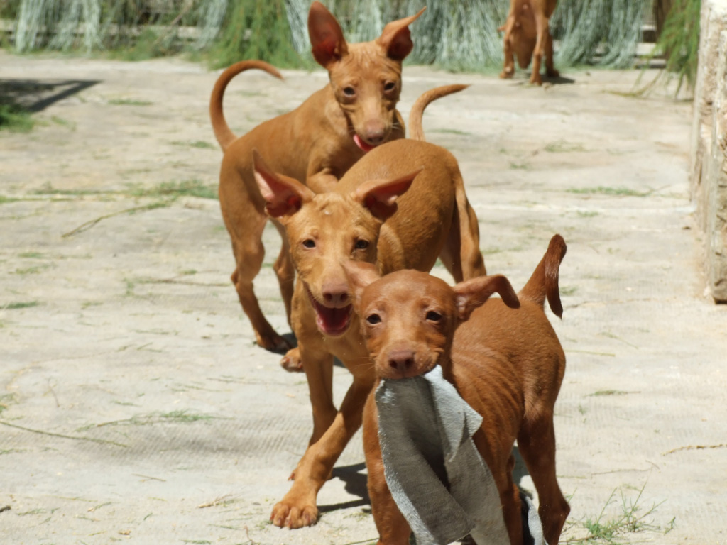 Cute Andalusian Hound Puppies: Cute Redbone Coonhound Information And Pictures Redbone Coonhounds Breed