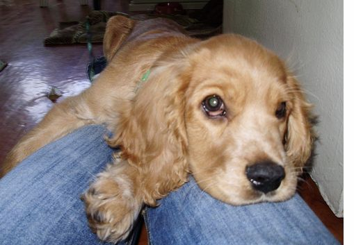 Cute Alpine Spaniel Puppies: Cute Related Pictures Dogs Cute Cocker Spaniels Breed