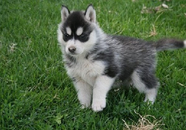 Cute Anglo-Français de Petite Vénerie Puppies: Cute Siberian Husky Puppy For Sale Breed