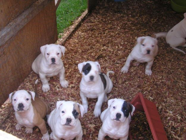 Cute Ariege Pointer Puppies: Cute Six Cute American Bulldog Puppies Breed