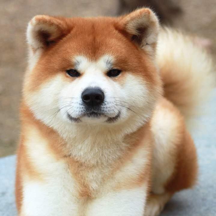 Japanese Akita Dog Price Goldenacresdogs Com