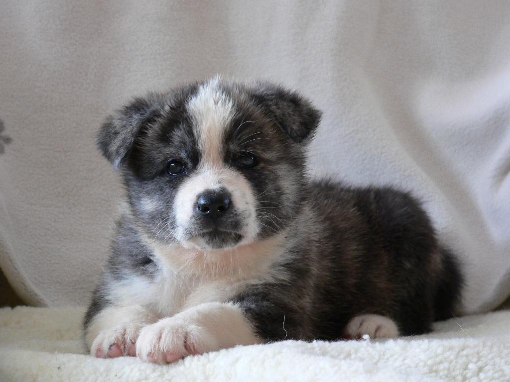 Cute Akita Inu Puppies: Cute Tatoos Akita Inu Breed