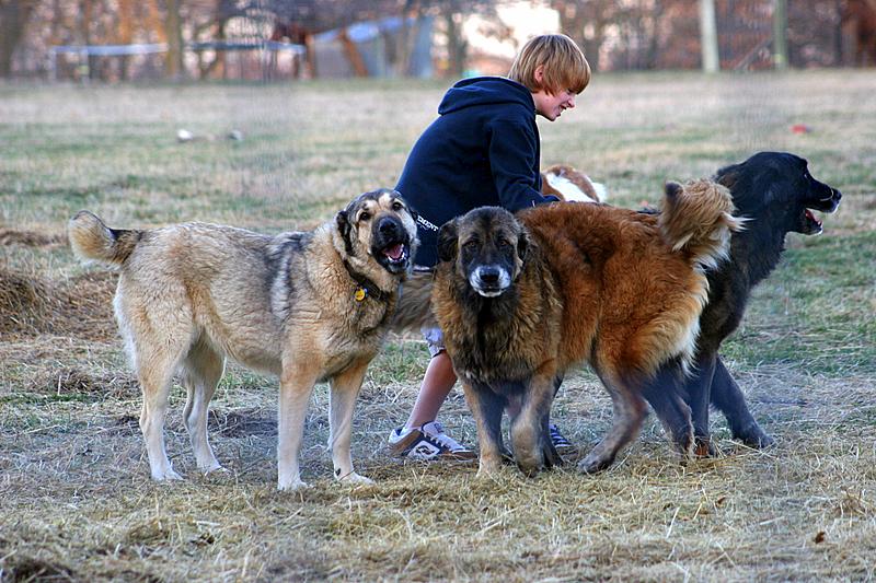 Cute Armenian Gampr Puppies: Cute Three Armenian Gampr Dogs Breed