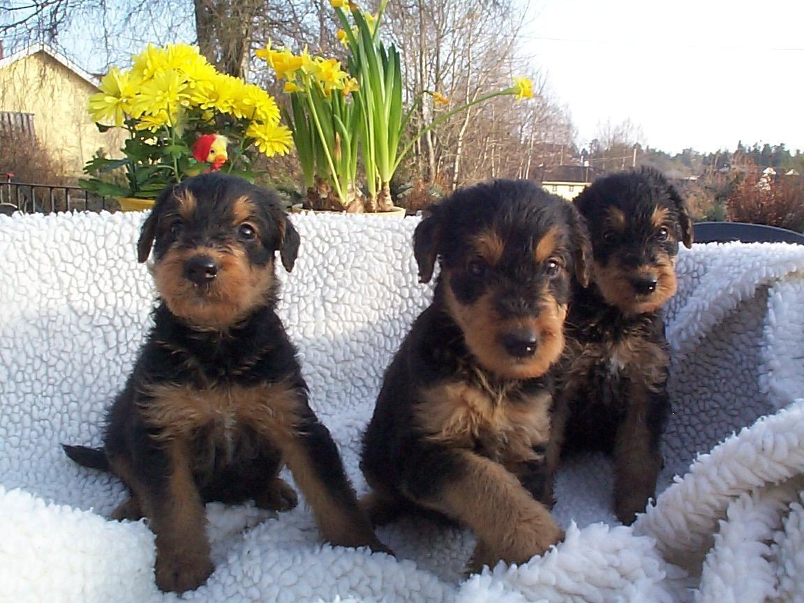 Cute Airedale Terrier Puppies: Cute Three Cute Airedale Terrier Puppies Breed