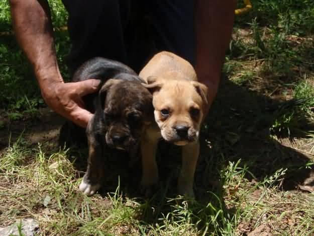 Cute Alano Español Puppies: Cute Two Cute Alano Espanol Puppies Breed