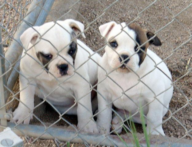 Cute Ariege Pointer Puppies: Cute Two Cute American Bulldog Puppies Breed