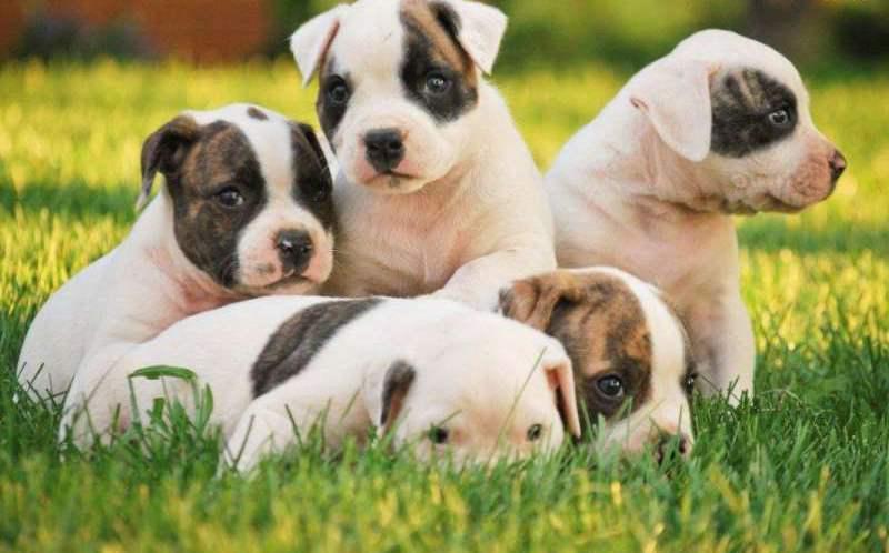 Cute American Bulldog Puppies: Cute Very Cute American Bulldog Puppies On Grass Puppies Breed