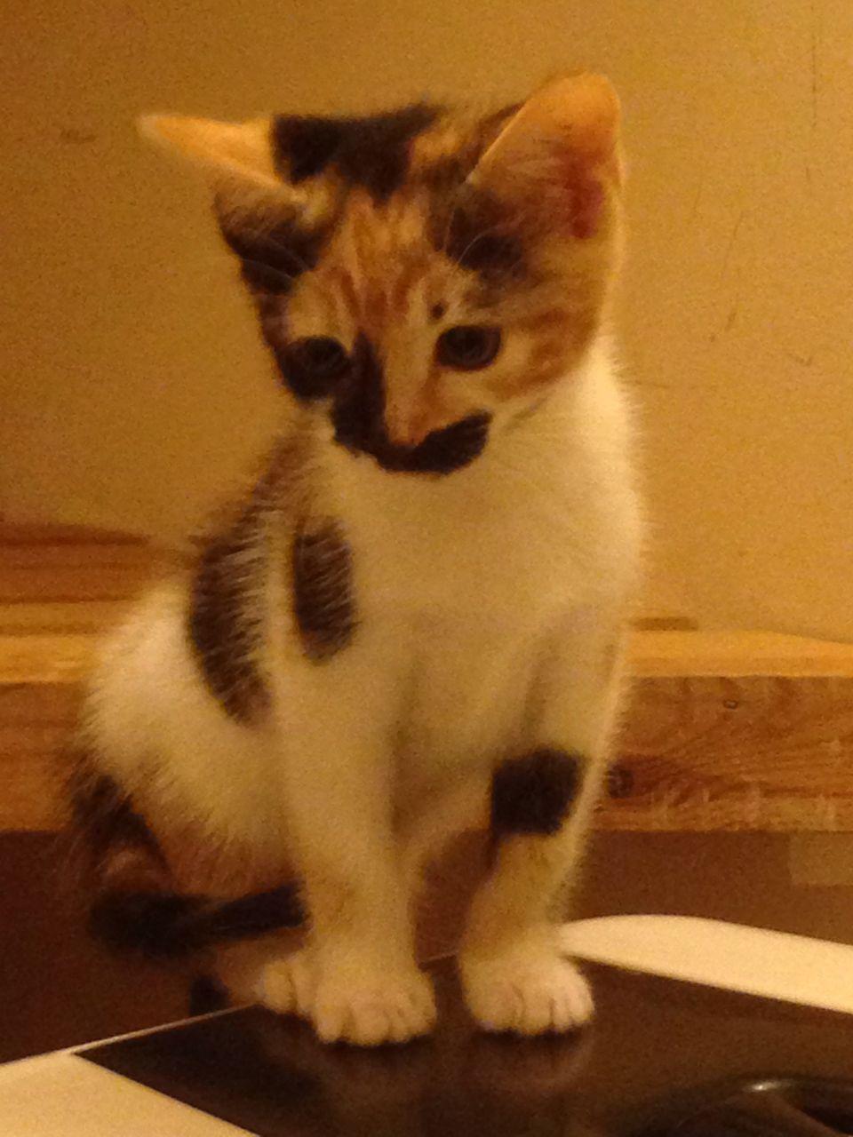 Cymric Kitten: Cymric Beautiful Bengal Cross Cymric Manx Kitten Egham Breed