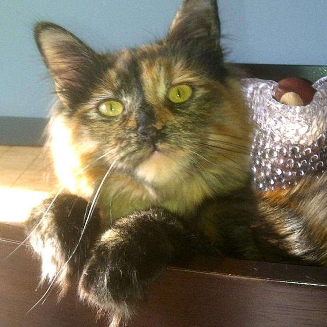 Cymric Kitten: Cymric Breed
