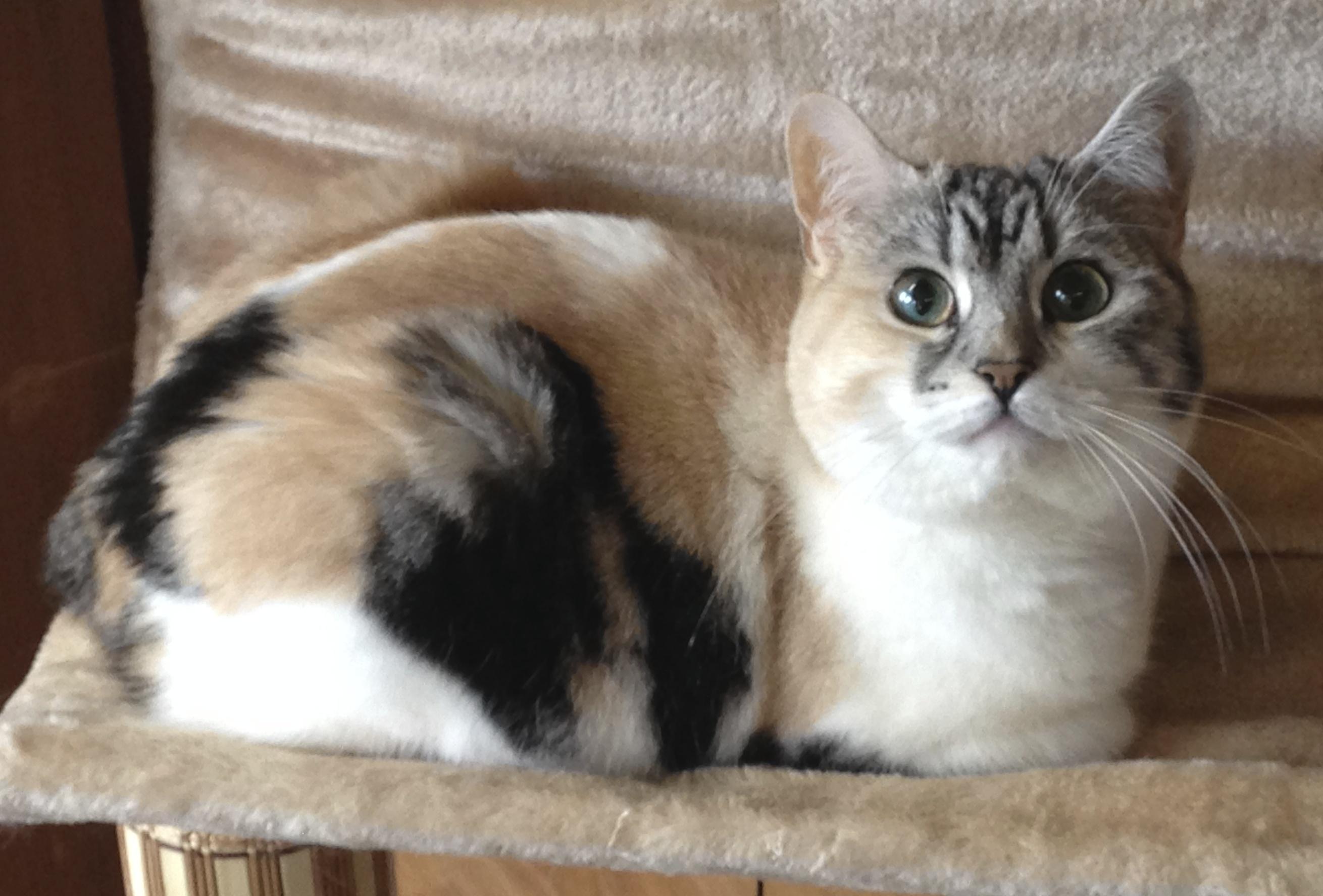 Cymric Kitten: Cymric Cats Kittens Breed