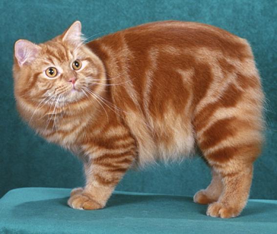 Cymric Cat: Cymric Chats Chat Cymric Breed