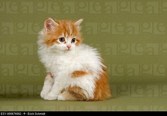 Cymric Kitten: Cymric Cute Cymric Kittens Breed