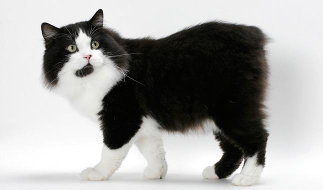 Cymric Cat: Cymric Cymric Breed
