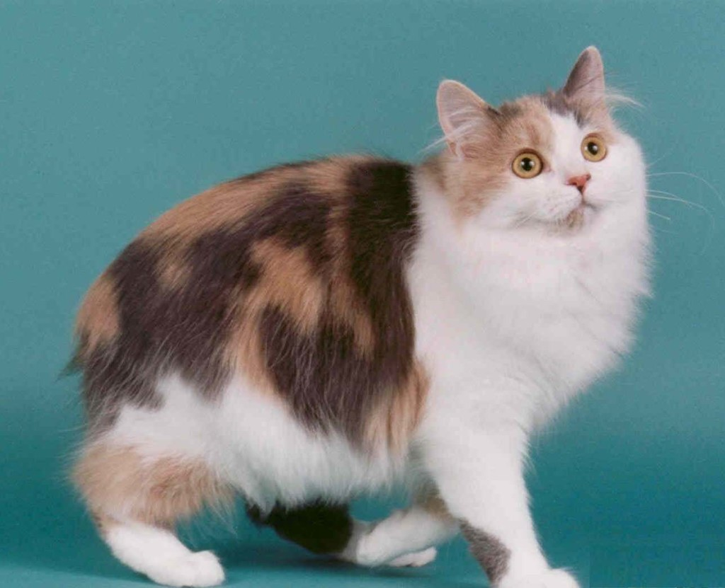 Cymric Cat: Cymric Cymric Cat Aka Longhaired Manx Breed