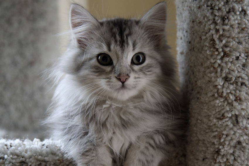 Cymric Kitten: Cymric Cymric Cat Breed