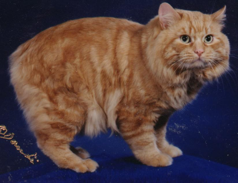 Cymric Cat: Cymric Cymric Or Long Haired Manx Cats Breed