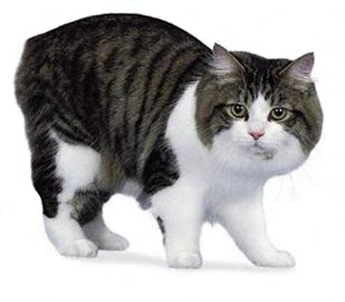 Cymric Cat: Cymric Gato Cymric Breed