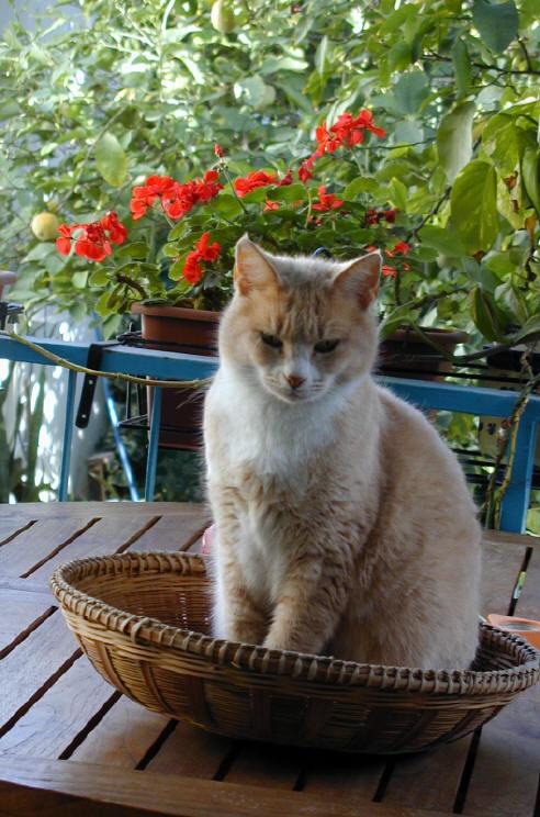 Cyprus Kitten: Cyprus Animals Breed