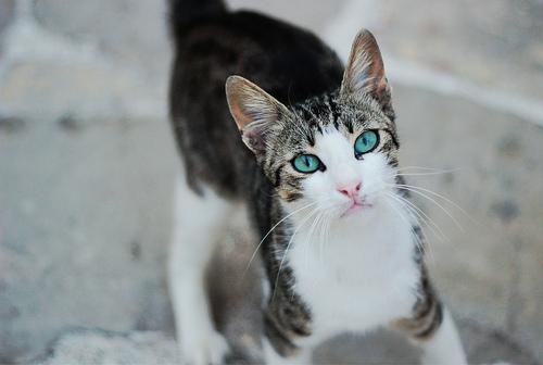 Cyprus Cat: Cyprus Ayios Neophytos Breed
