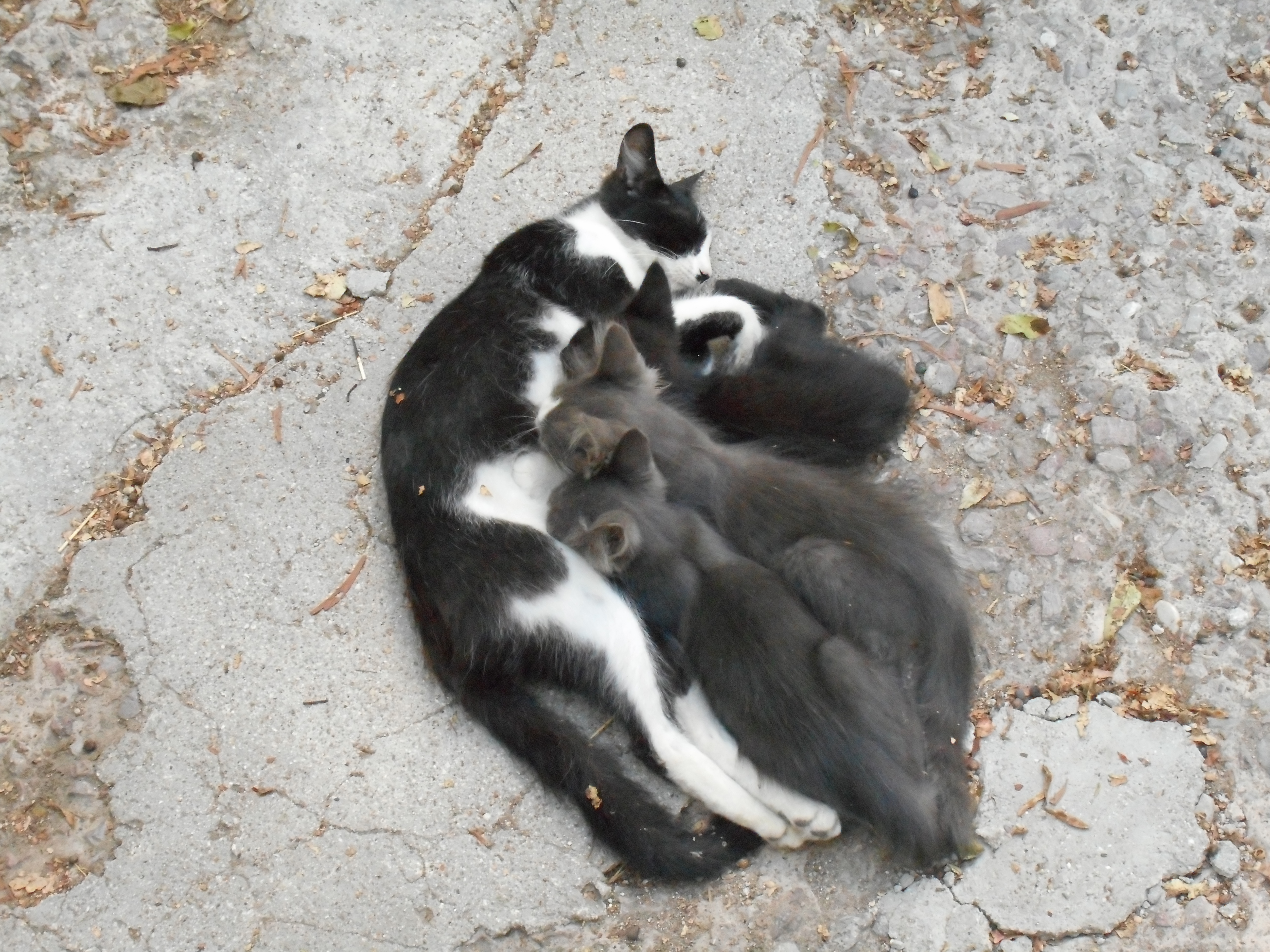 Cyprus Kitten: Cyprus Cyprus Breed