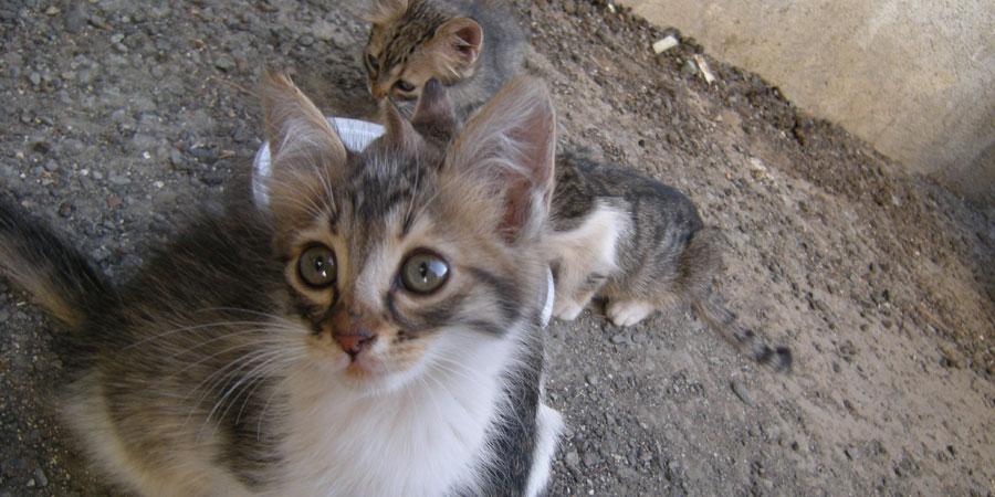 Cyprus Kitten: Cyprus Cyprus Cat Breed