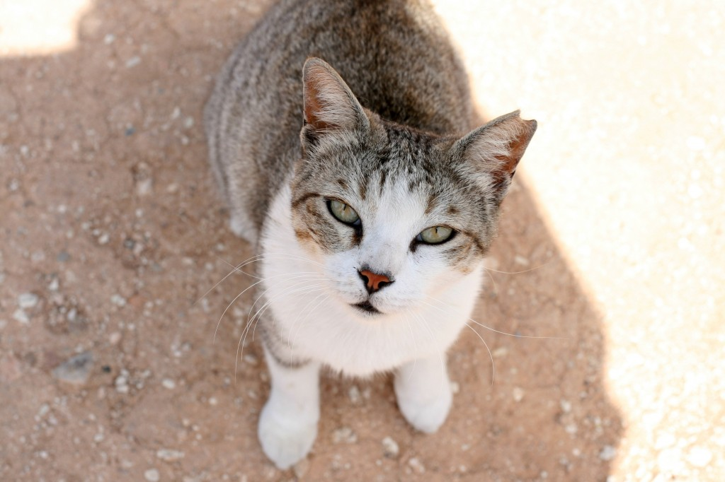Cyprus Cat: Cyprus Handmade In Cyprus Breed