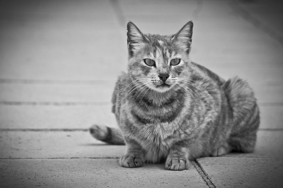 Cyprus Cat: Cyprus Nice Cyprus Cat Breed