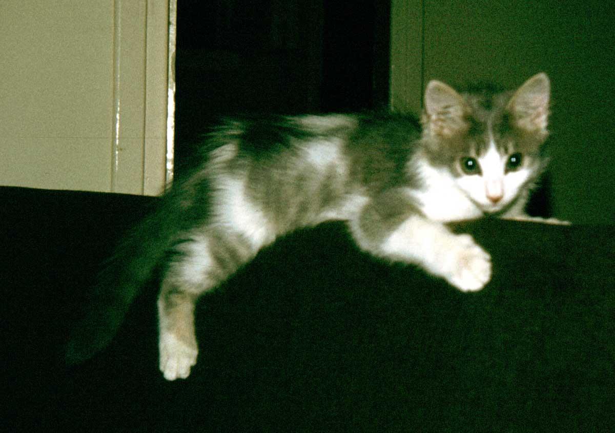 Cyprus Kitten: Cyprus Pets Breed