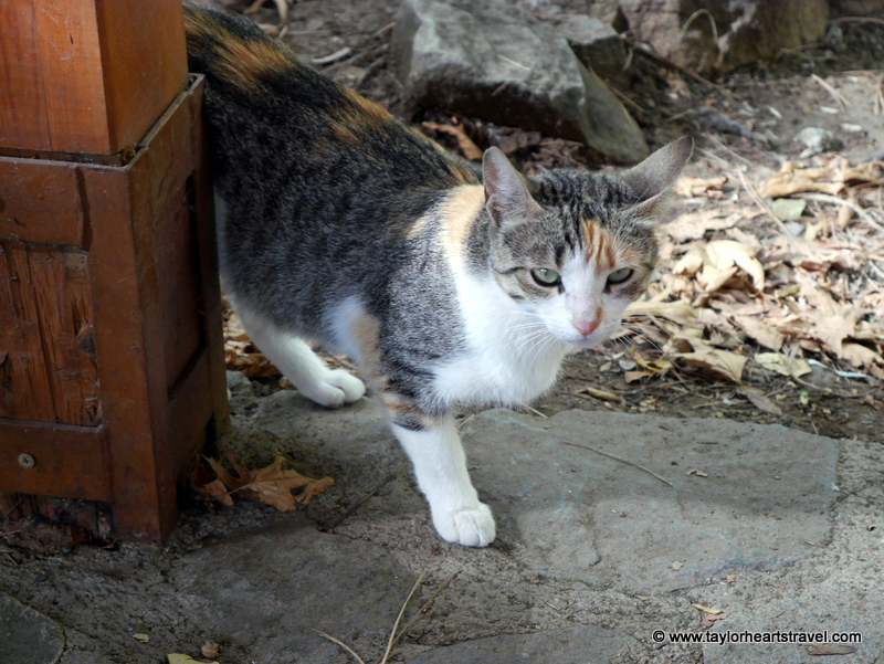 Cyprus Kitten: Cyprus The Cats Of Cyprus Breed