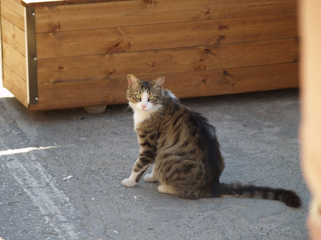 Cyprus Cat: Cyprus The Ultimate Cat Breeds List
