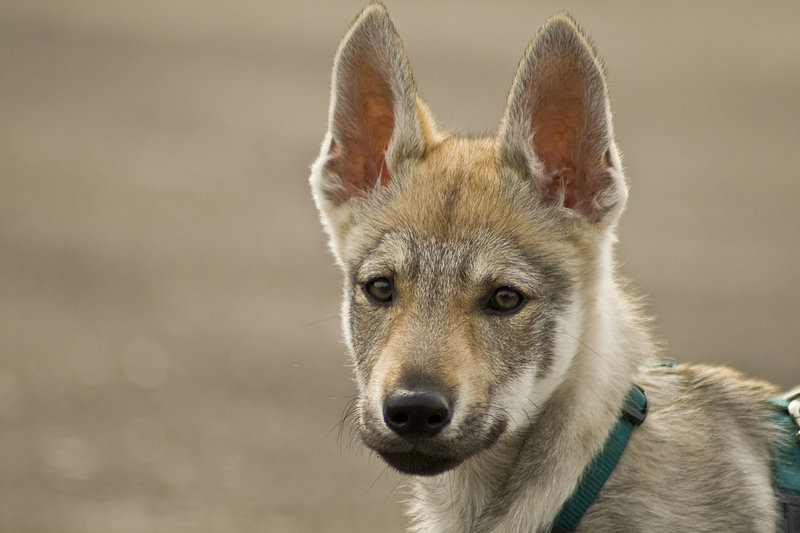 Czechoslovak Wolfdog Dog: Czechoslovak Beautiful Czechoslovak Wolfdog Puppy Breed