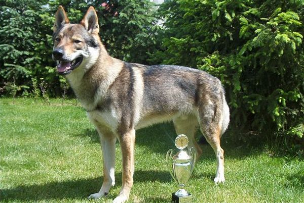 Czechoslovak Wolfdog Dog: Czechoslovak Czech Republic Wolf Dog Teaokxk Breed