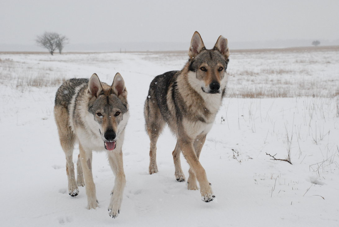 Czechoslovak Wolfdog Puppies: Czechoslovak Czechoslovak Wolfdog Breed