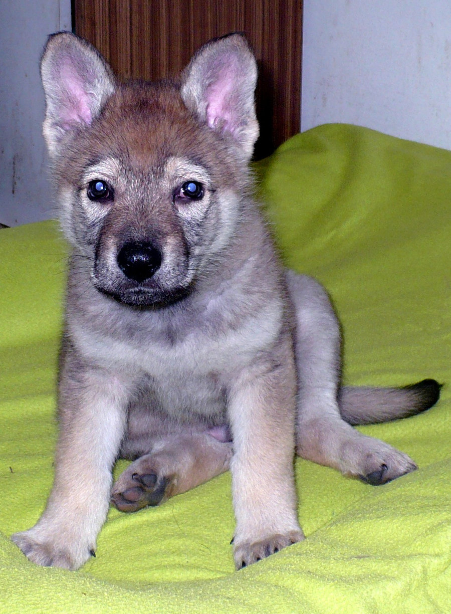 Czechoslovak Wolfdog Puppies: Czechoslovak Czechoslovak Wolfdog Puppy Breed