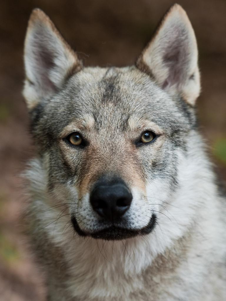 Czechoslovak Wolfdog Dog: Czechoslovak Majestic Czechoslovak Wolfdog Dog Breed