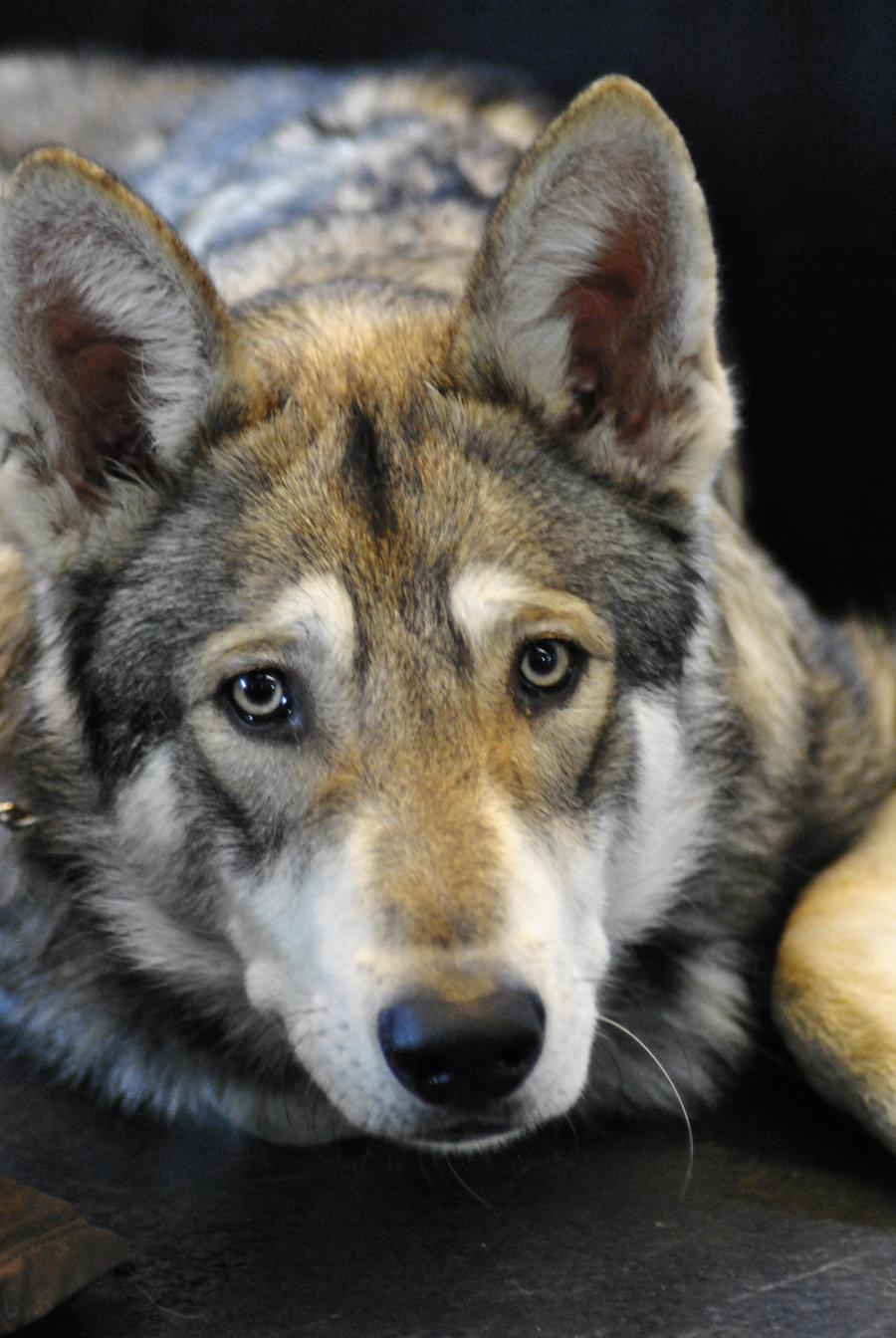 Czechoslovak Wolfdog Dog: Czechoslovak Sad Czechoslovak Wolfdog Breed