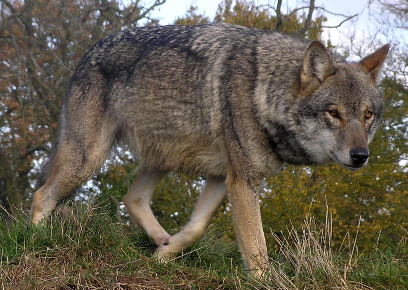 Czechoslovak Wolfdog Dog: Czechoslovak Walking Czechoslovak Wolfdog Breed