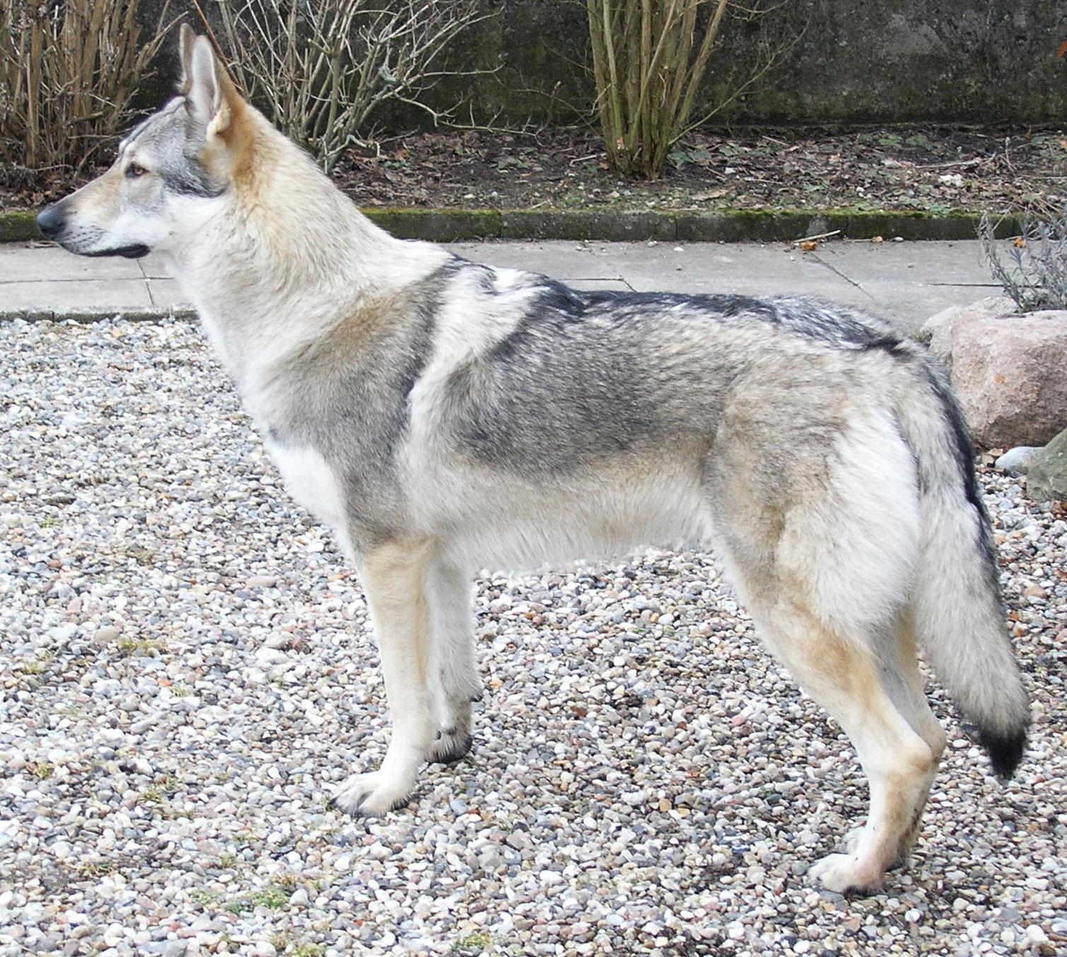 Czechoslovak Wolfdog Dog: Czechoslovak Watching Czechoslovak Wolfdog Dog Breed