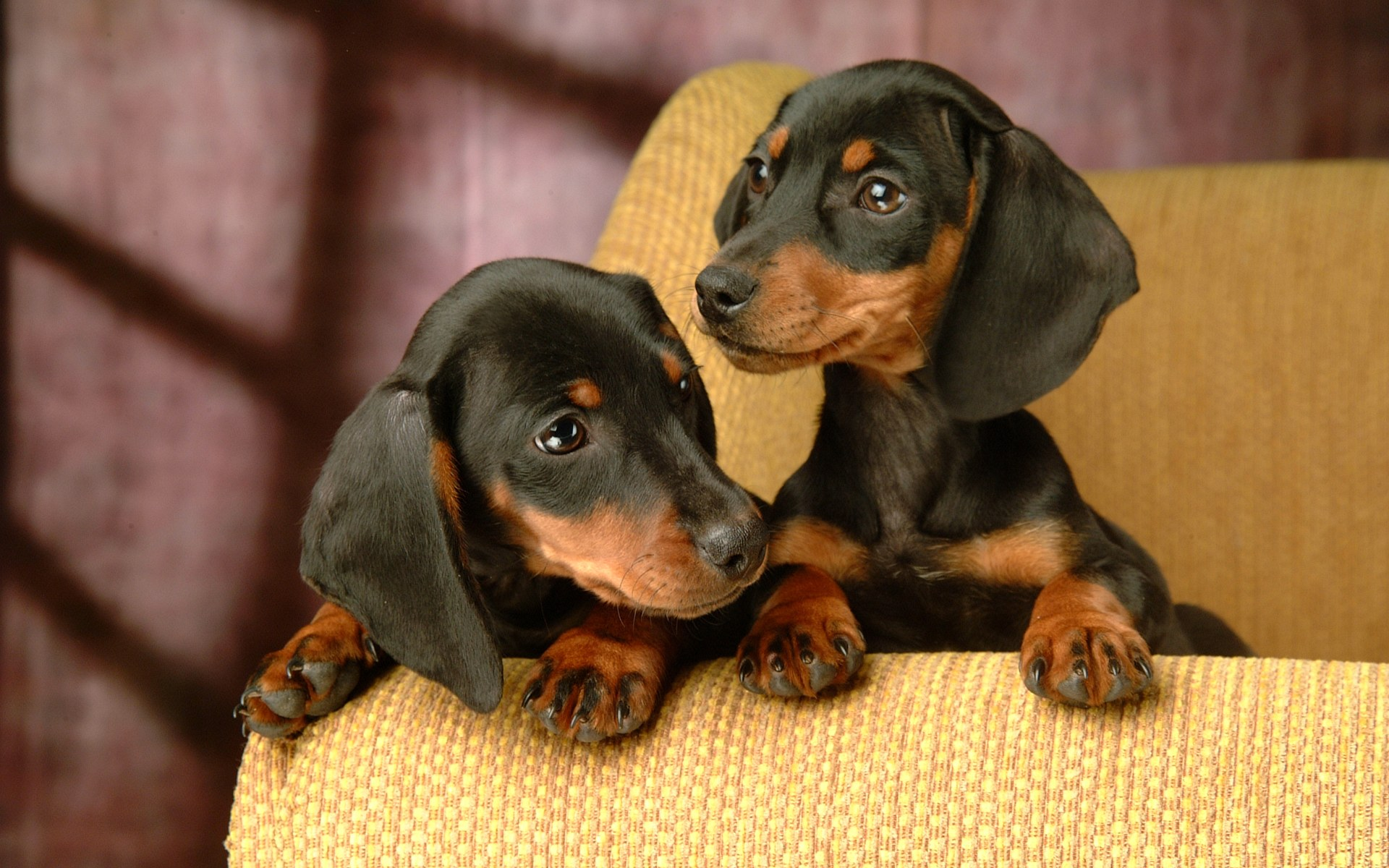 Dachshund Puppies Puppy Dog Gallery