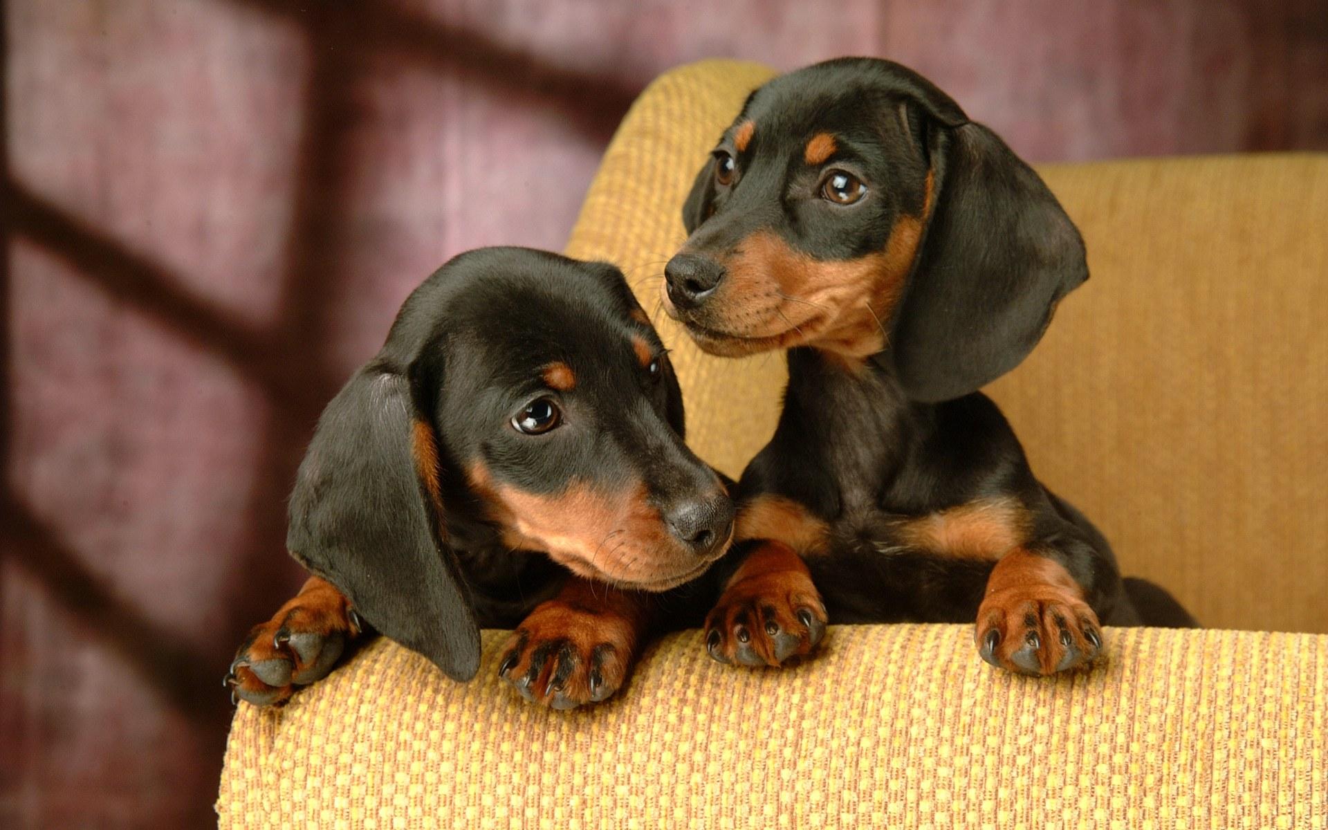 Dachshund Puppies: Dachshund Breed